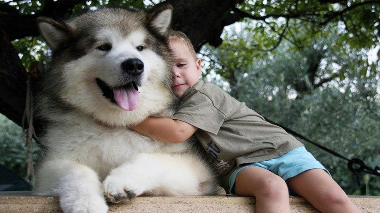 Adorable Alaskan Malamute Playing With Kids Dog Loves Baby