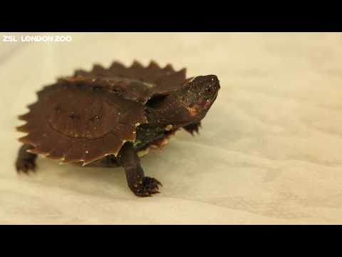 Spiny Hill Baby Turtle born at ZSL London Zoo