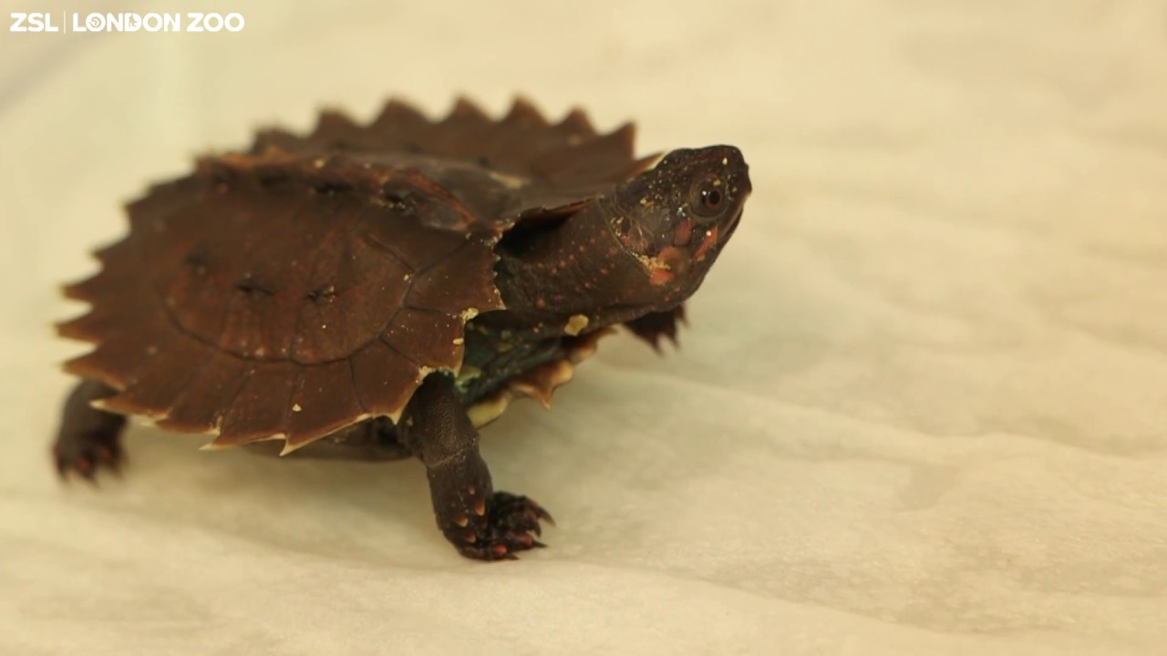 Tiny Turtle Arrives for 'World Turtle Day' - ZooBorns