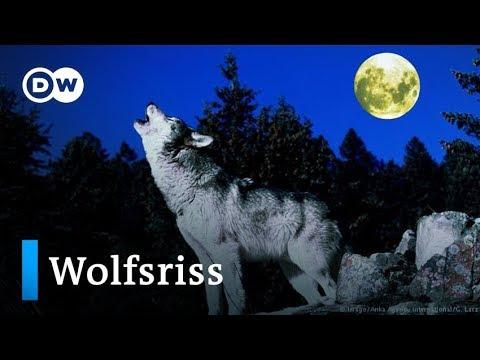 Deutschland: Weniger Schutz für den Wolf? | DW Nachrichten