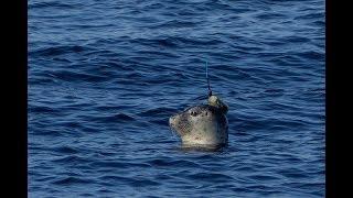 Тюлени-исследователи появились в Командорском заповеднике