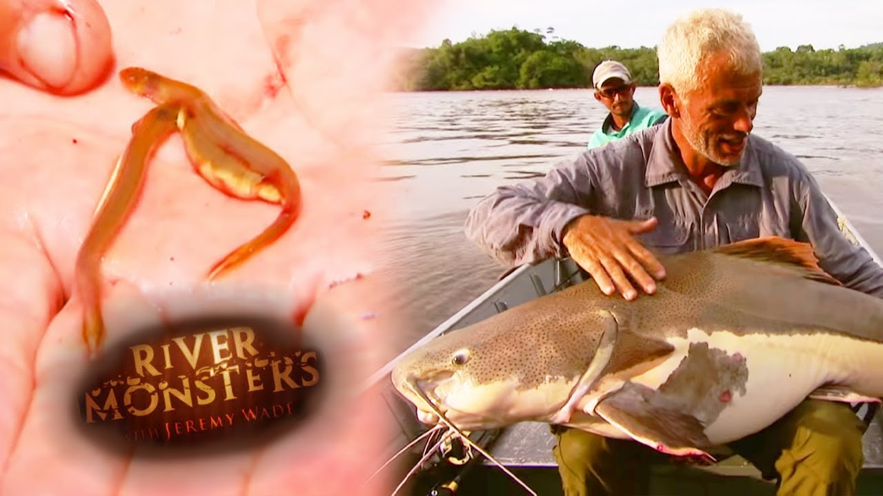 catching the redtail catfish river monsters youtube