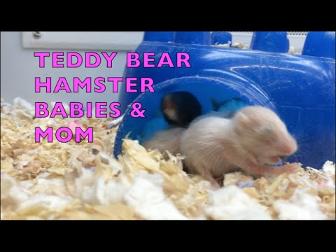 Baby Teddy Bear Hamsters   Cutest Little Things Ever ...