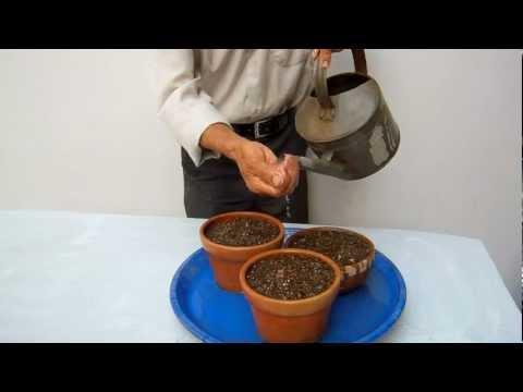 semillas de enebro bogota