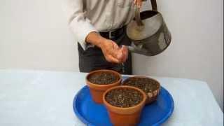 Como empezar bonsai con semillas