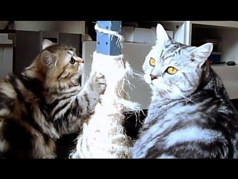 Kitten Panda and Cat Tyson