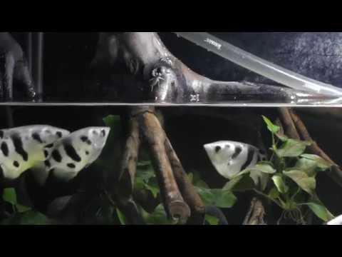 Archerfish Shooting & Jumping At Crickets