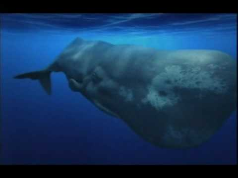 ORCAS VS SPERM WHALES - ATTACK ON A FEMALE AND HER YOUNG BULL CALF!