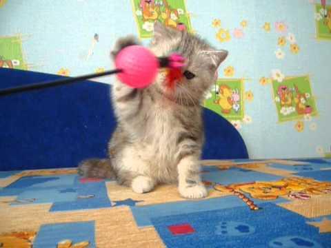 Купить котенка экзота в питомнике