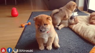 My life is potato. Ep 07 / Shiba Inu puppies