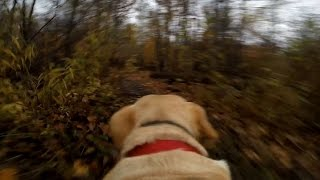 Gopro Fetch Dog Mount Test On Labrador Retriever