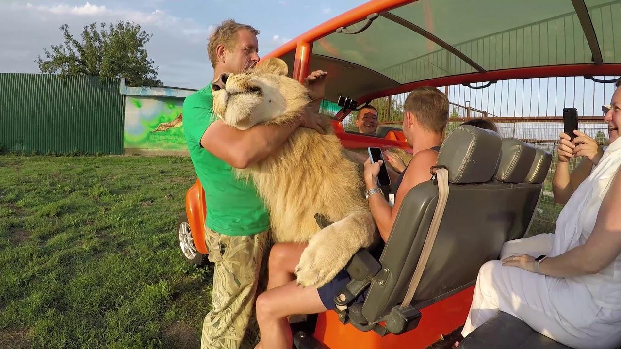 Чудесная прогулка по Сафари, фотосессия со львами Герда - звезда Тайган