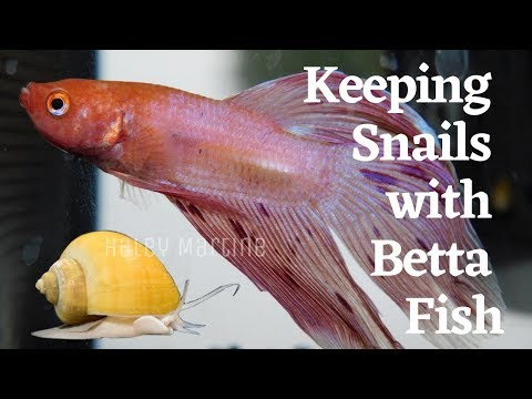 Keeping Snails With Betta Fish