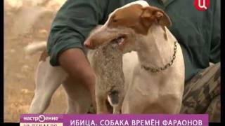 ТВ ЦЕНТР - Ибица. Собака времен фараона.