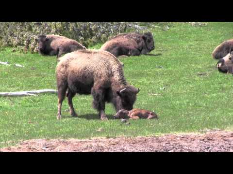 The Last Baby Bison (Buffalo) Birth in Yellowstone in 2011