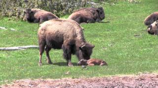 Repeat youtube video The Last Baby Bison (Buffalo) Birth in Yellowstone in 2011