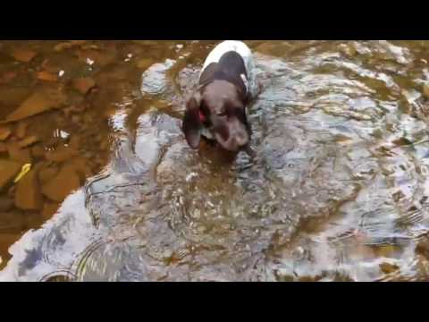 German shorthaired pointers swimming