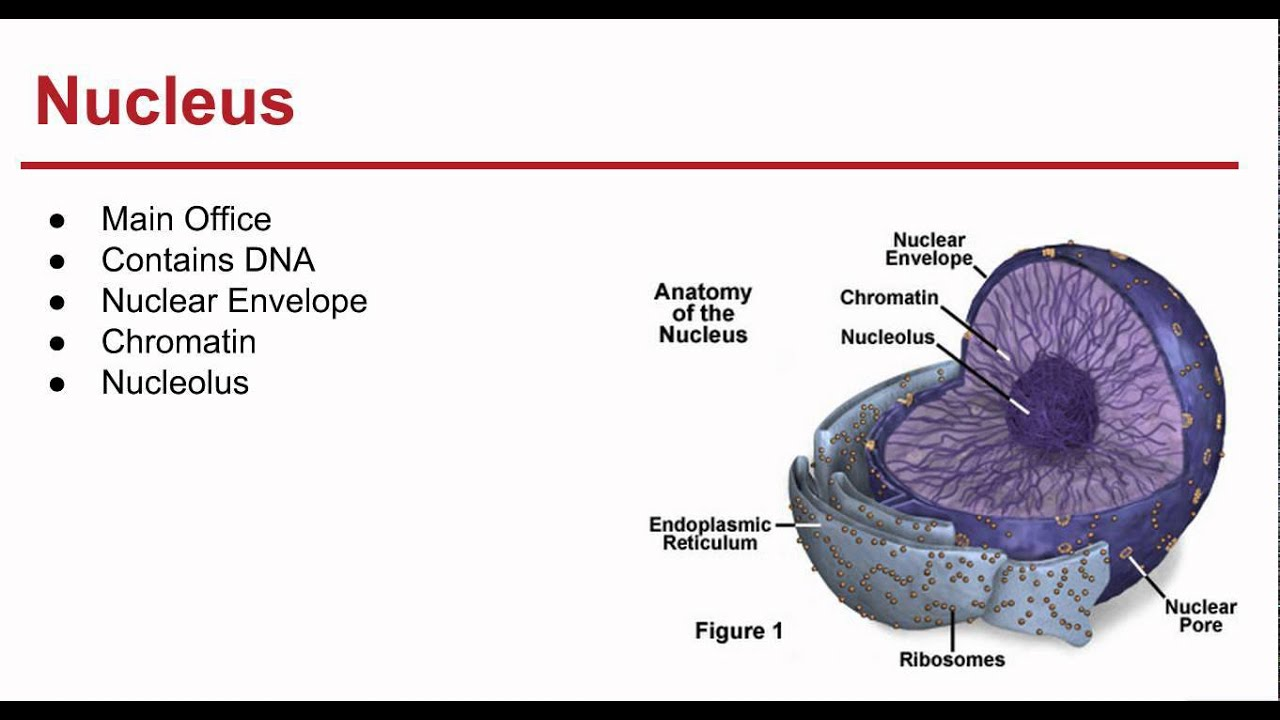 ch 7 cell structure and function