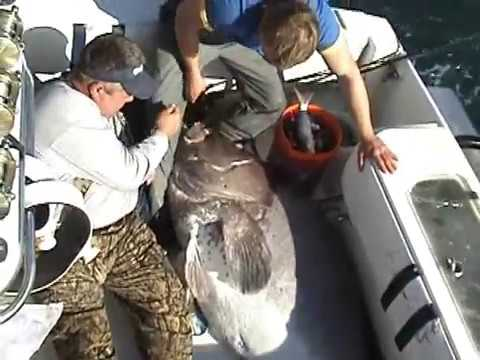 351lb Warsaw Grouper from Venice, Louisiana with Mule Team C