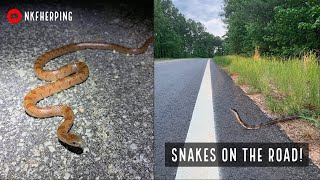 Looking for Snakes Crossing the Road! Mole Kingsnake, Copperhead, and More!!!