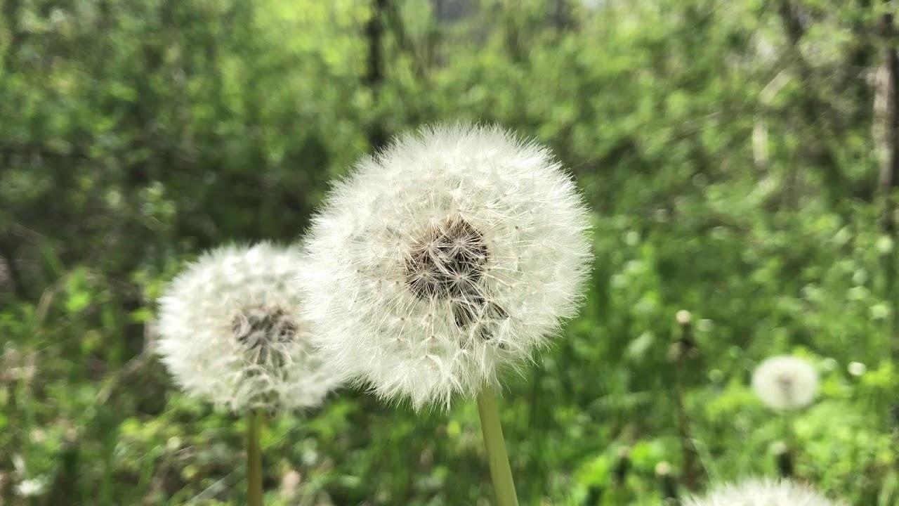SF - Garden - Pissenlit 1