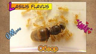 Жёлтый земляной муравей ЛАЗИУС ФЛАВУС // Lasius Flavus // Обзор