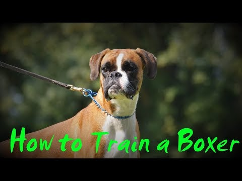 How To Train A Boxer - How To Potty Train A Boxer Puppy