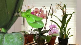 Размножение орхидей..или что у меня ПОЛУЧИЛОСЬ?