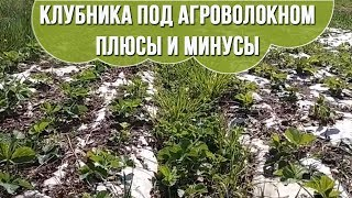 Выращивание клубники под агроволокном Клубника под спанбондом