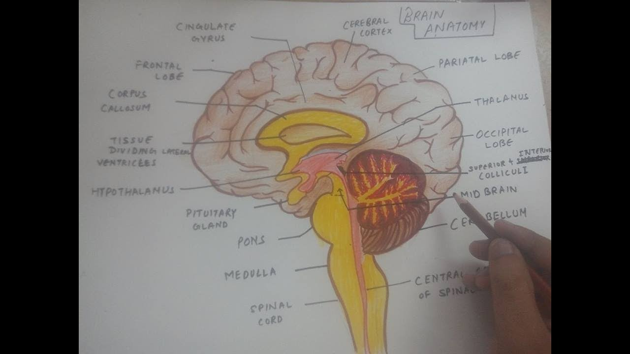 Brain Diagram | How To Draw Human Brain Anatomy Diagram Easily Youtube