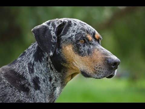 Catahoula Leopard Dog - Dog Breed