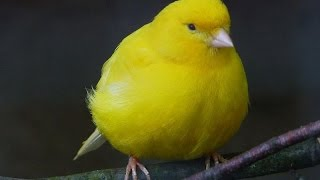 CANADIAN NATIONAL CAGE BIRD SHOW & EXPO 2014 - Fancy American Canaries & Lovebirds