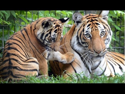 Fresno zoo's tiger cubs: Watch them grow