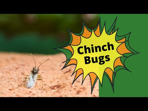 Chinch Bugs - Checking For Chinch Bug Damage In Your Lawn