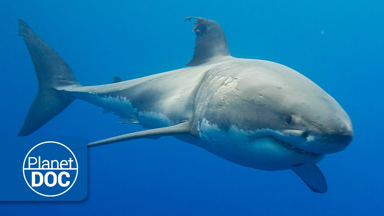 Australia. El Gran Tiburón Blanco | Documental Completo