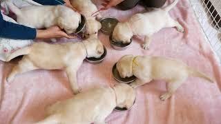 生後28日目のタミー母さんの子犬たちは、お母さんのオッパイを飲んでい...