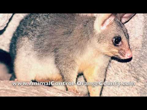 Animal Control Orange County    Youtube. Mechanical Valve Replacement Surgery. Small Office Telephone System Reviews. Training Magazine Conference Bone Loss Jaw. Benzydamine Hydrochloride Oral Rinse. Biomedical Equipment Technician Certification. Online Master Of Education New York Life Term. Incorporation Versus Llc It Ticketing Systems. Dental Implant Experience Cuna Life Insurance
