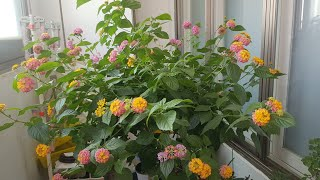 "Flowers and Music ""Lantan…"