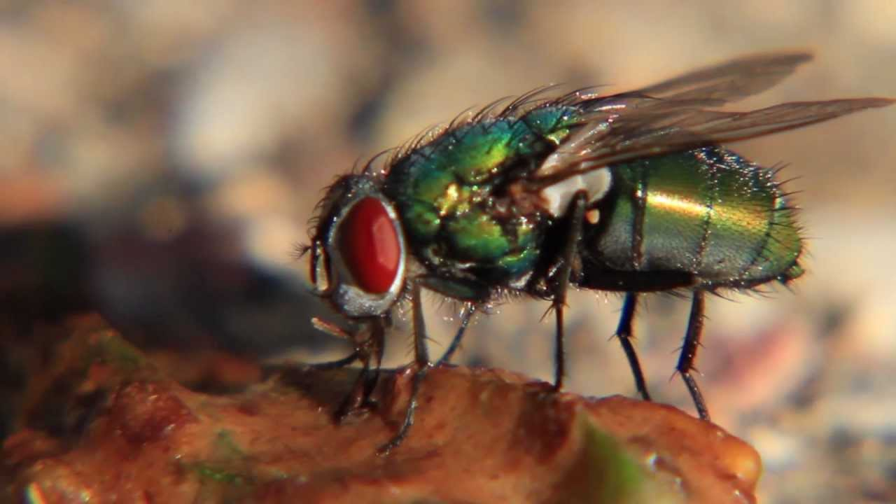 What Do Flies Eat For Food