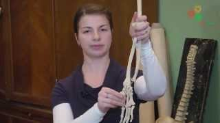 Анатомия человека. Строение суставов человека (И. Синёва)