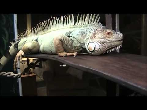 Custom Cage for a Large Male Green Iguana