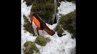 Vizsla hunting