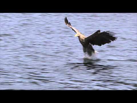 Mull Charters - White-tailed Sea Eagle Fishing