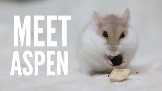 meet-aspen-my-new-hamster