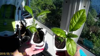 видео Выращивание лимона в домашних условиях