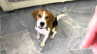 Oddy The Beagle Performing Tricks At 1 Year's Old