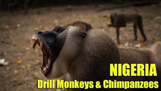 Nigeria Afi Mountain Drill Ranch - Drill Monkeys and Chimpanzees