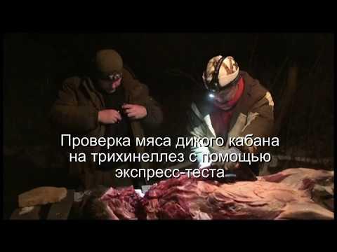 Как проверить медвежье мясо на трихинеллез в домашних условиях