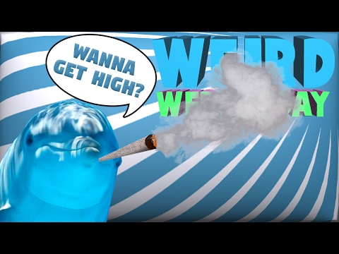 Dolphins Are Getting High?!