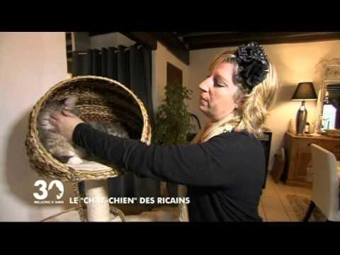 MAINE-COON LE CHAT CHIEN DES RICAINS